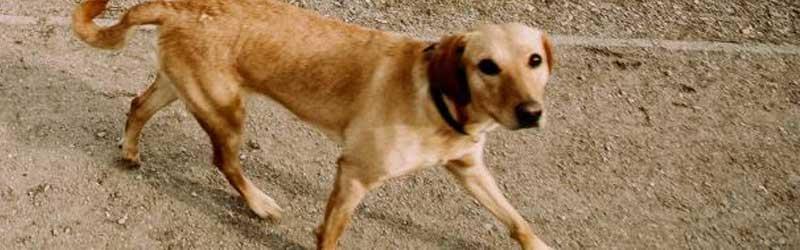 La leishmaniosis, tu perro en peligro